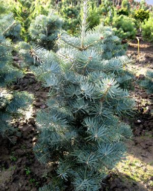 Abies concolor 'Compacta' - Jedľa srienistá