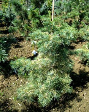 Abies concolor 'Wintergold' - Jedľa srienistá