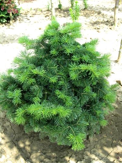 Abies lasiocarpa 'Green Globe' - Jedľa plstnatoplodá