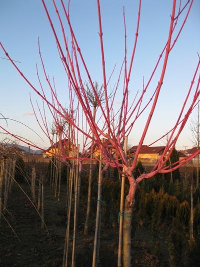 Acer conspicuum 'Phoenix' - Javor