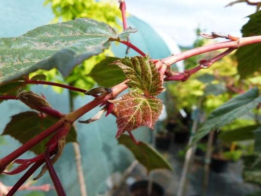 Acer conspicuum 'Red Flamingo' - Javor