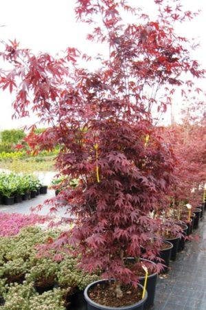 Acer palmatum 'Atropurpureum' - Javor dlaňolistý
