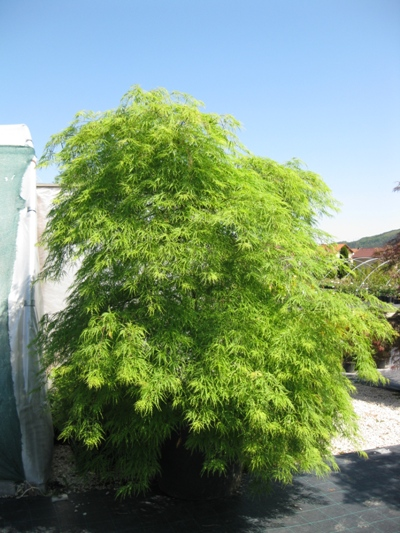 Acer palmatum 'Dissectum' - Javor dlaňolistý