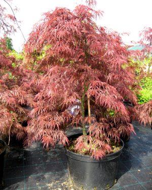 Acer palmatum 'Garnet' - Javor dlaňolistý