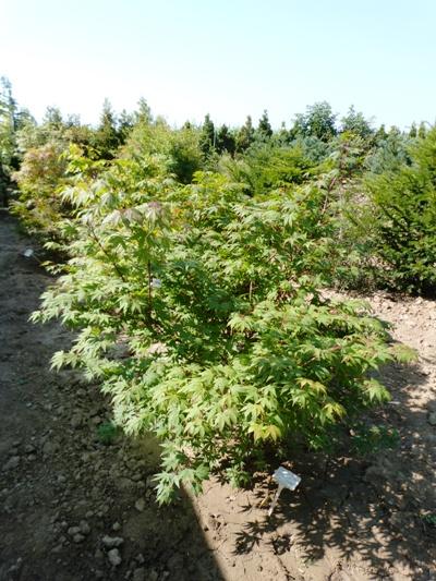Acer palmatum 'Osakazuki' - Javor dlaňolistý