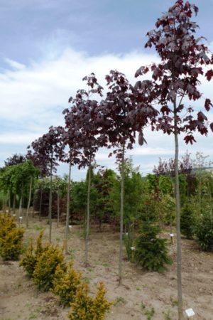 Acer platanoides 'Crimson King' - Javor mliečny