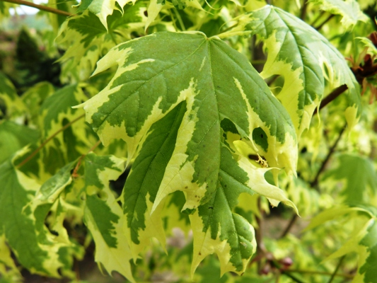 Acer platanoides 'Drummondii' - Javor mliečny