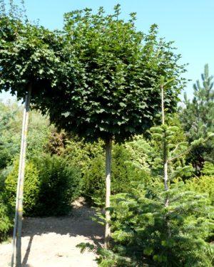 Acer platanoides 'Globosum' - Javor mliečny