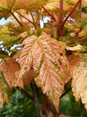Acer pseudoplatanus 'Esk Sunset' - Javor horský
