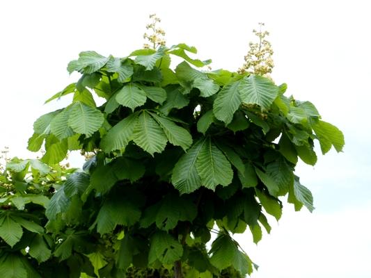 Aesculus carnea 'Briotii' - Pagaštan pleťový