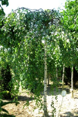 Betula pendula 'Youngii' - Breza bradavičnatá