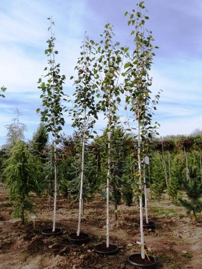 Betula utilis 'Doorenbos' - Breza himalájska