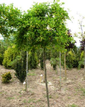 Caragana arborescens 'Pendula' - Karagana stromovitá