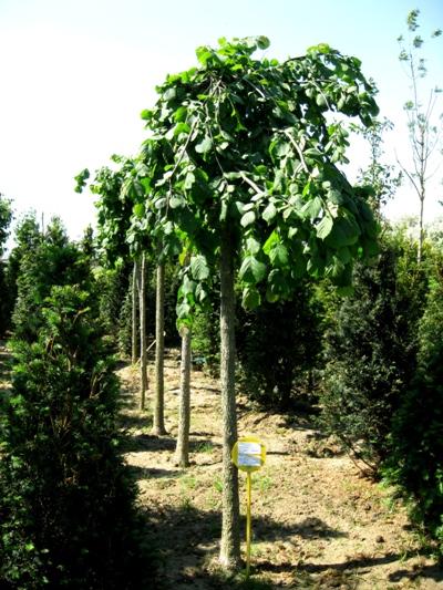 Corylus avellana 'Pendula' - Lieska obyčajná