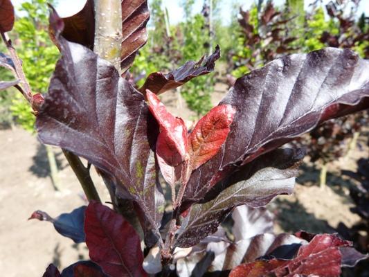 Fagus sylvatica 'Annys Red Pillar' - Buk lesný