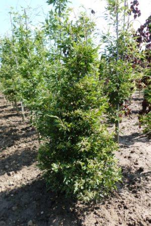 Fagus sylvatica 'Asplenifolia' - Buk lesný