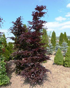 Fagus sylvatica 'Atropunicea' - Buk lesný