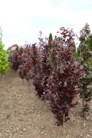 Fagus sylvatica 'Dawyck Purple' - Buk lesný