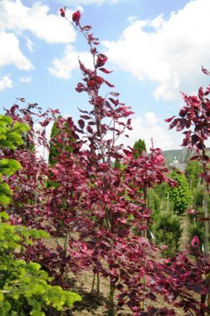 Fagus sylvatica 'Tricolor' - Buk lesný