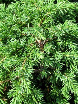 Juniperus communis 'Green Carpet' - Borievka obyčajná