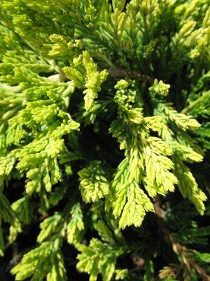 Juniperus horizontalis 'Golden Carpet' - Borievka rozprestretá