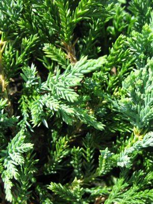 Juniperus horizontalis 'Wiltonii' - Borievka rozprestretá