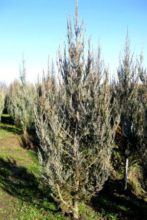 Juniperus scopulorum 'Blue Arrow' - Borievka skalná