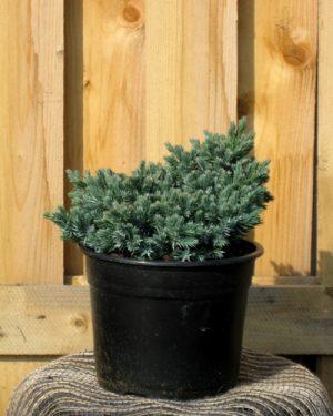 Juniperus squamata 'Blue Star' - Borievka šupinatá