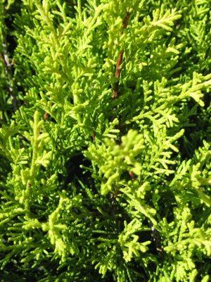 Juniperus x media 'Old Gold' - Borievka prostredná
