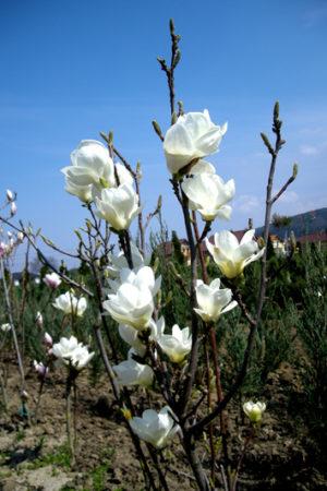 Magnolia denudata 'Double Diamond' - Magnólia holá
