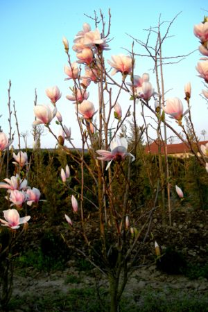 Magnolia soulangeana - Magnólia Soulangova