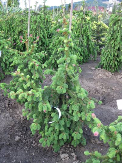 Picea abies 'Acrocona' - Smrek obyčajný