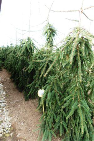 Picea abies 'Bohemica Pendula' - Smrek obyčajný