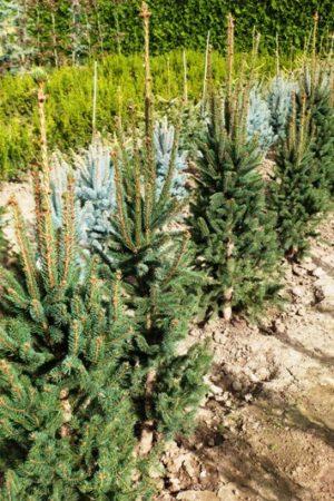 Picea abies 'Cupressina' - Smrek obyčajný