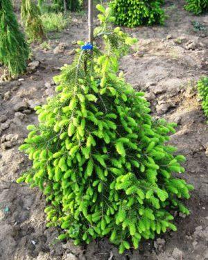 Picea abies 'Formanek' - Smrek obyčajný