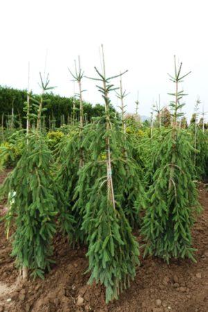 Picea abies 'Frohburg' - Smrek obyčajný