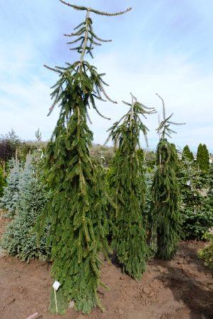 Picea abies 'Inversa' - Smrek obyčajný