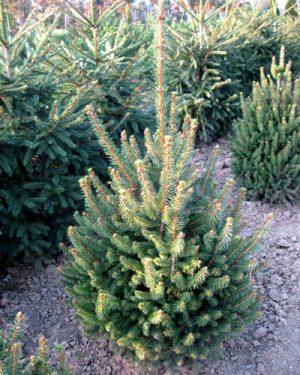 Picea abies 'Remontii' - Smrek obyčajný
