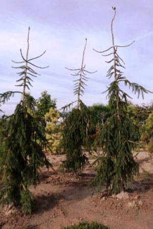 Picea abies 'Rothenhaus' - Smrek obyčajný