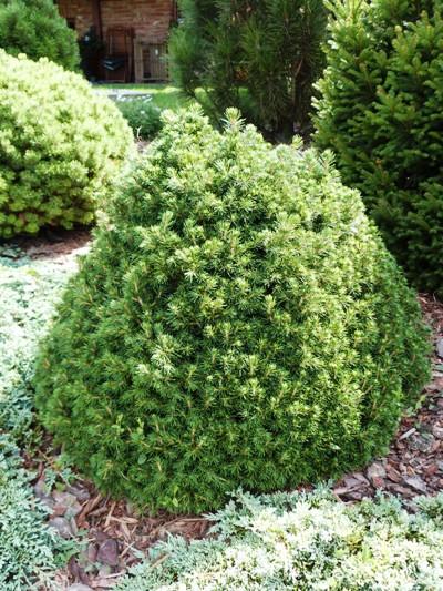 Picea abies 'Tompa' - Smrek obyčajný