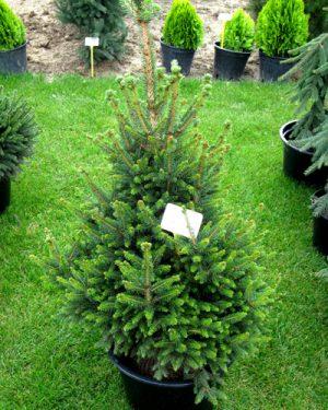 Picea abies 'Wills Zwerg' - Smrek obyčajný
