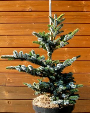 Picea bicolor - Smrek dvojfarebný