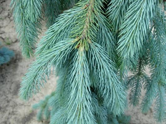 Picea engelmannii 'Lace' - Smrek Engelmannov
