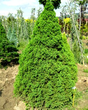 Picea glauca 'Conica' - Smrek biely