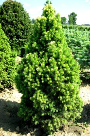 Picea glauca 'J.W.Daisys White' - Smrek biely