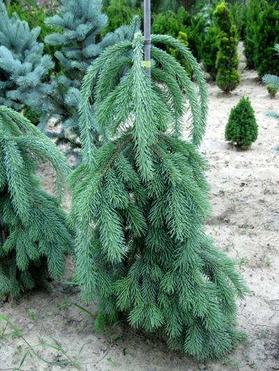 Picea glauca 'Pendula' - Smrek biely