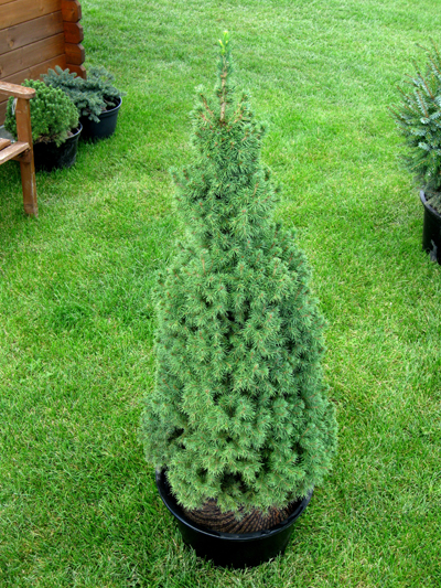 Picea glauca 'Sanders Blue' - Smrek biely