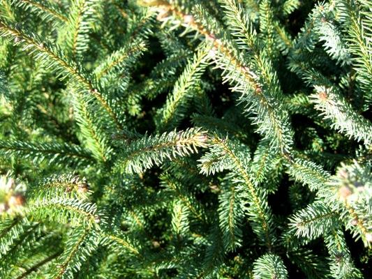 Picea likiangensis var.balfouriana - Smrek likiangský