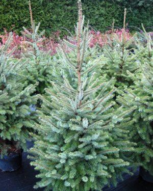 Picea omorika - Smrek balkánsky