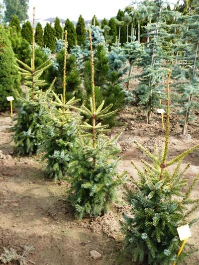 Picea omorika 'Aurea' - Smrek balkánsky